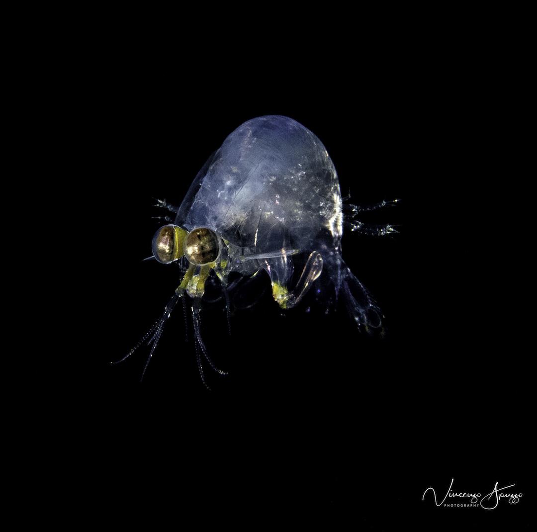 Mantis shrimp in larve stage on a black water dive