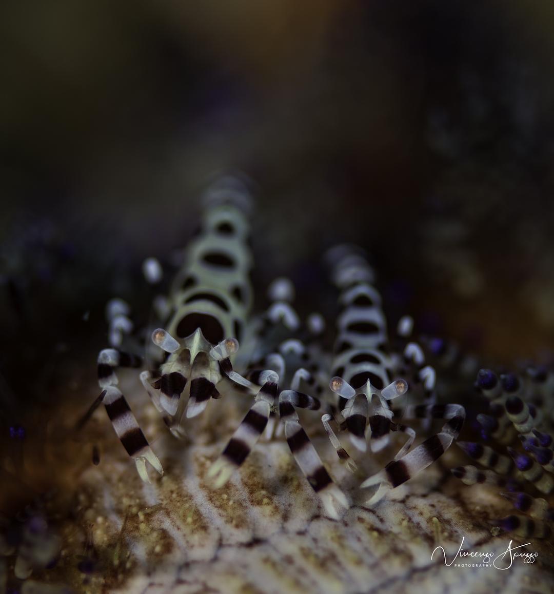 Coleman shrimps on fire urchin