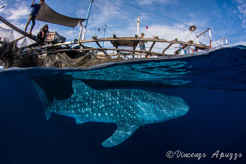 Split level whale shark