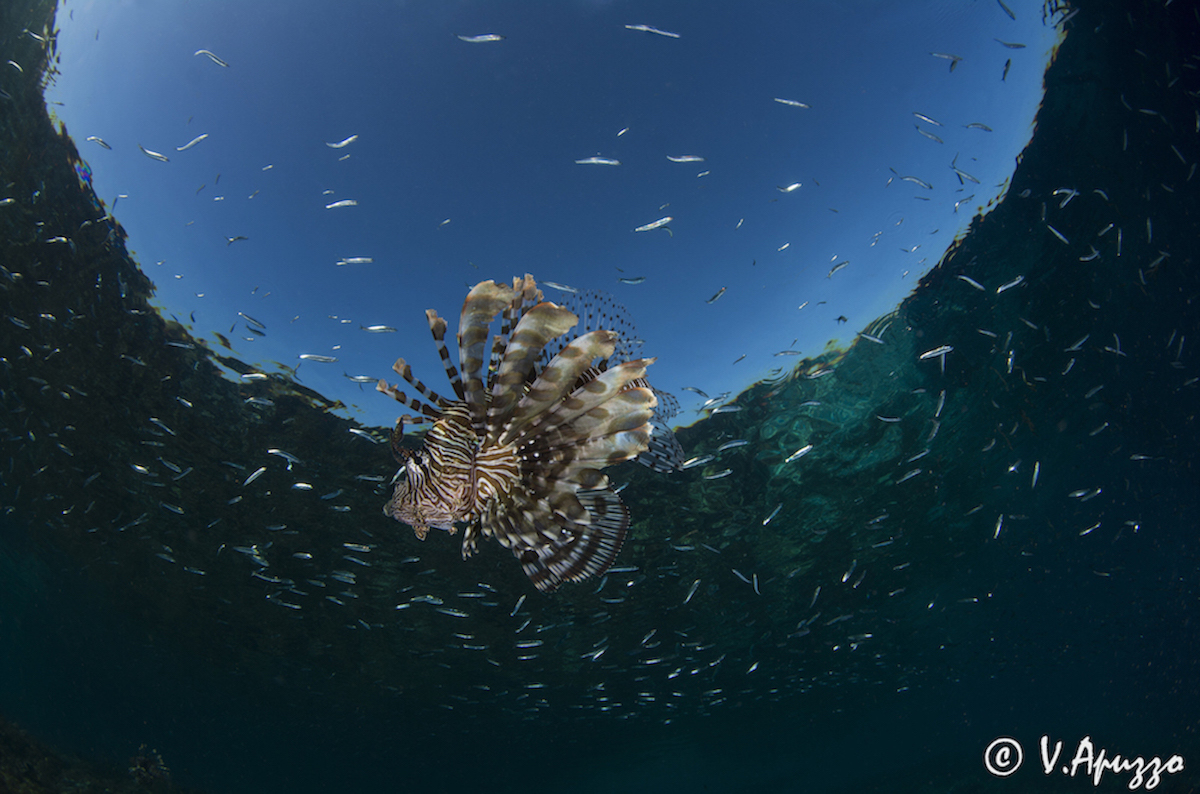 Lionfish with Snells window In Papua