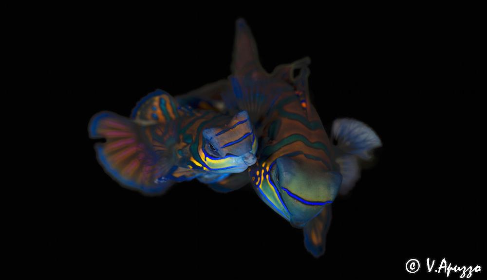 Mandarinfish In Lembeh Straits Indonesia