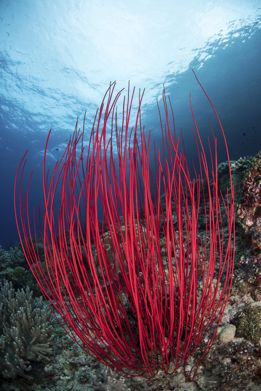 Misool-corals