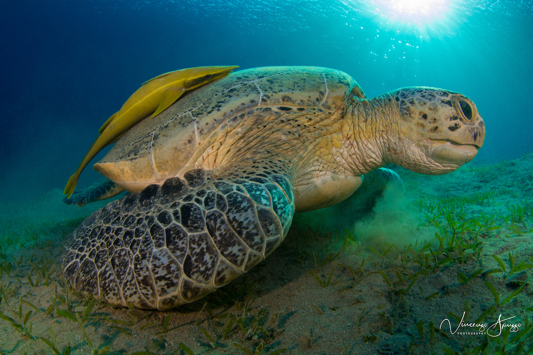 Turtle-Red-Sea