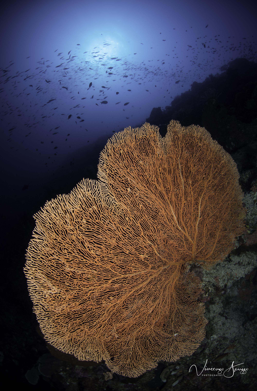 Weda reef gorgonia sea fan